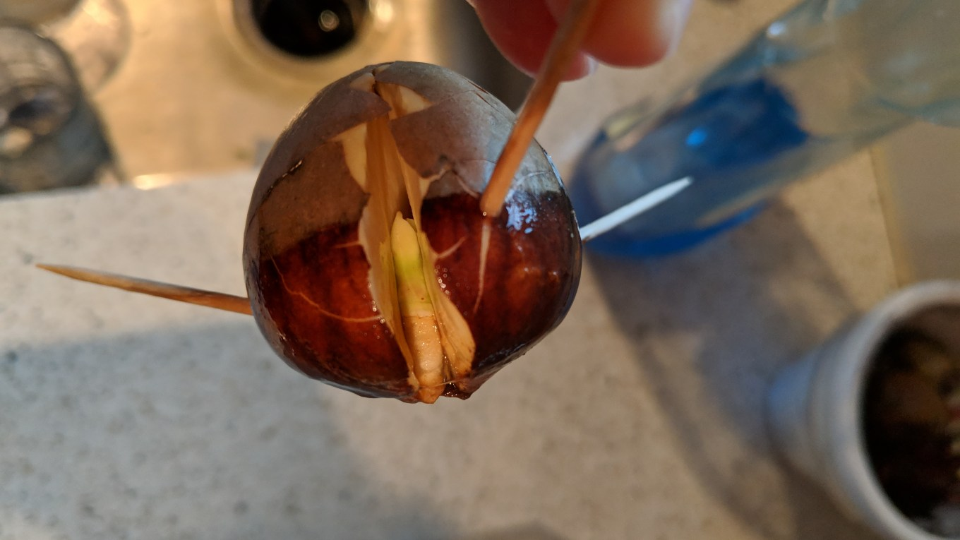 avocado growth