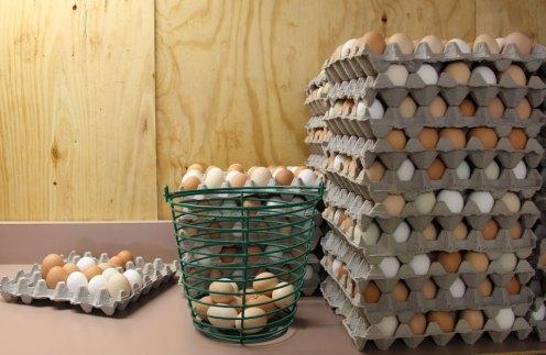 humane certified eggs at Coastal Hill Farm