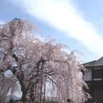 飯田 麻績神社の枝垂れ桜