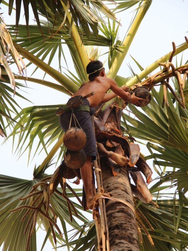 Récolte Sucre de fleurs de palmier