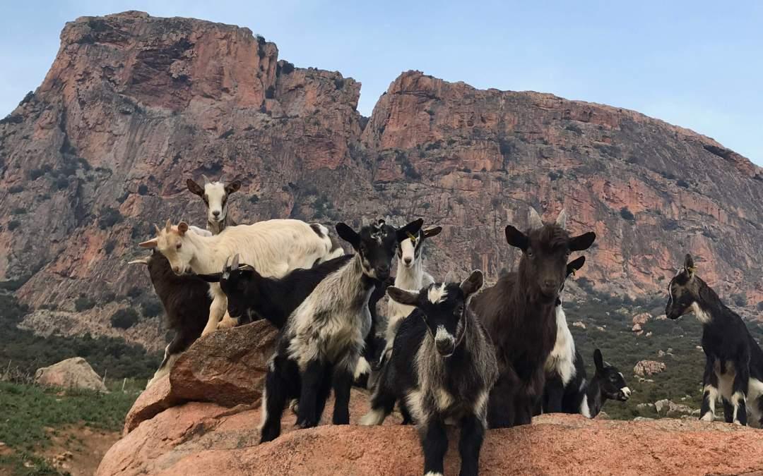 Ovins et Caprins de Corse, zoom sur ces animaux rustiques endémiques.