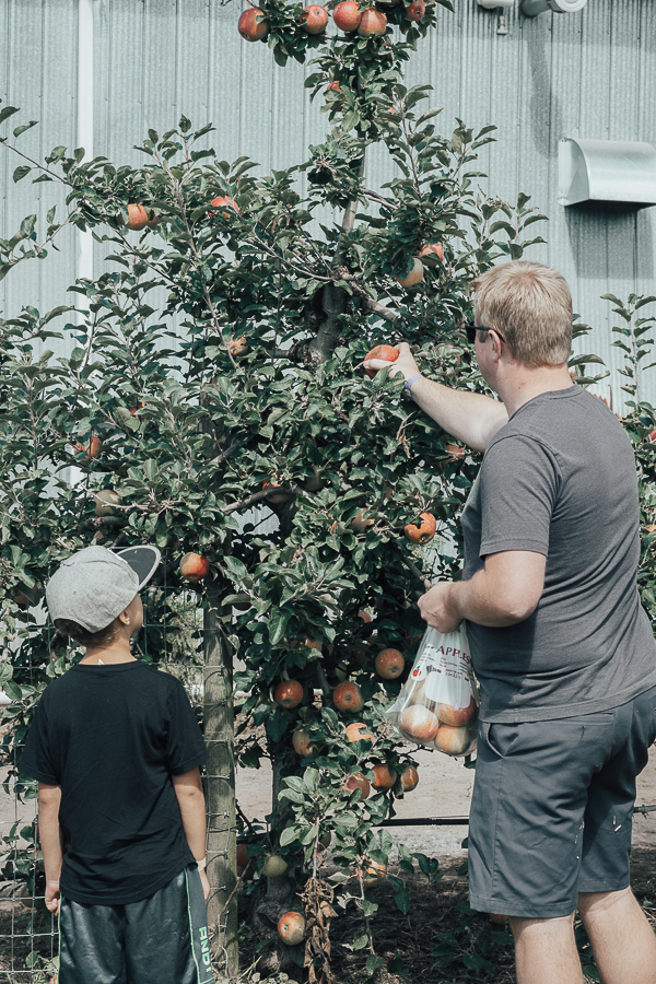 apple-picking-taves-family-farms-abbotsford-bc