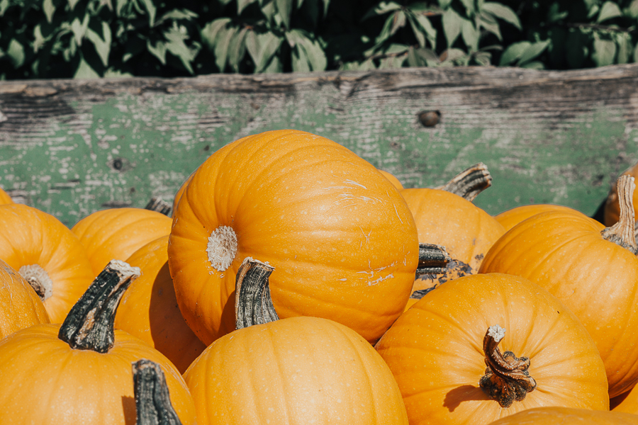 pumpkin-patch-taves-family-farms-abbotsford-bc