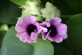 Hawaiian baby woodrose flowers 5