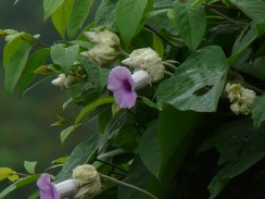 Hawaiian baby woodrose flowers 7