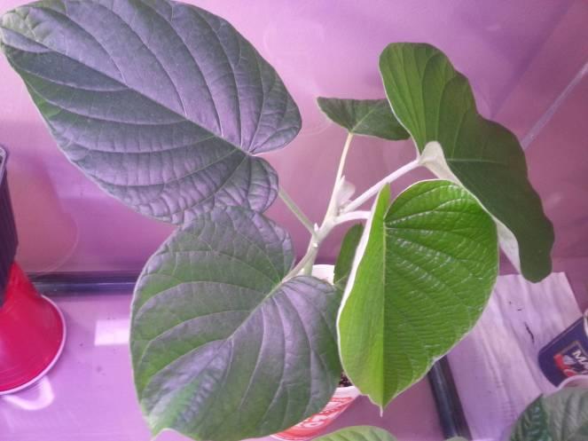 Hawaiian baby woodrose leaves 1