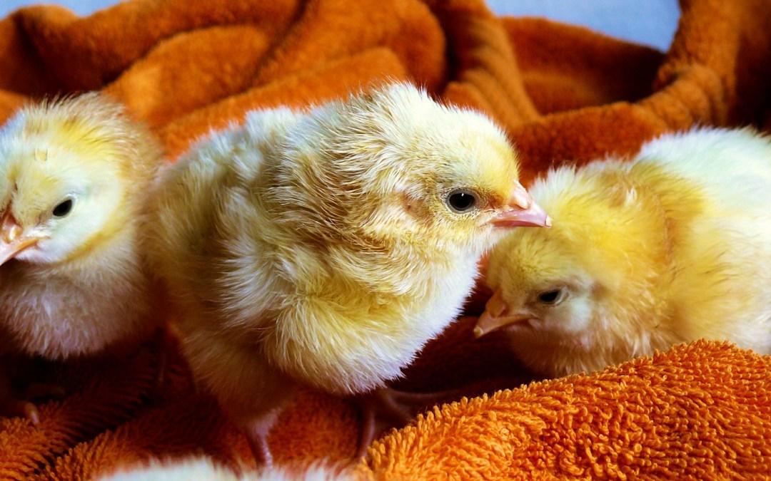 6 Σοκαριστικοί Λόγοι Για Να Σταματήσετε Να Τρώτε Αμέσως Τώρα Κοτόπουλο