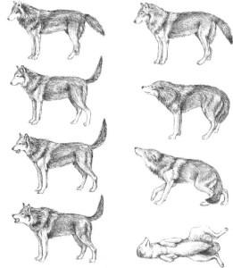 Comunicação em cães Comportamento Animal e Psicologia Animal Aplicada Ethos Adestramento e Terapia Comportamental Helena Truksa