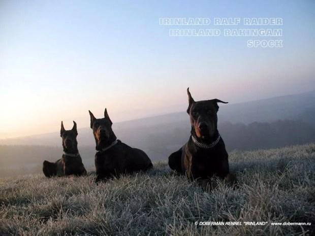 dobermann-ethos-psicologia-canina-animal-caes-cachorro-adestramento-adestrador