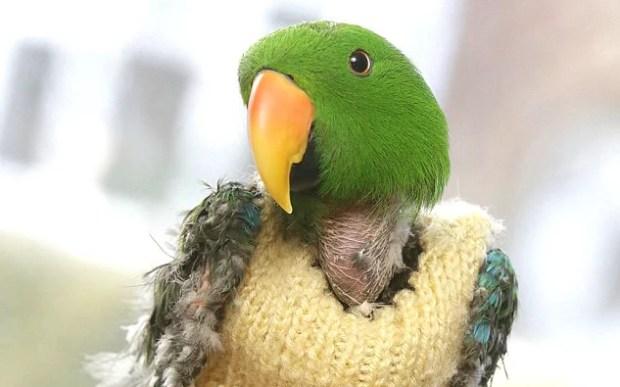charlie-eclectus-papagaio-estresse-automutilacao-arrancar-penas-comportamento-animal-psicologia-adestramento-ethos