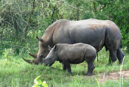 Christmas present for Ugandans: A Rhino Baby