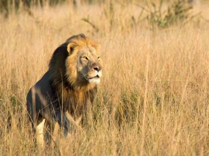 Lion trophy hunting: The death of Xanda in Zimbabwe