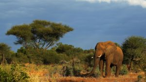 Elephant poaching in Africa falls but ivory seizures up