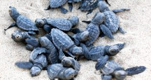 Cape Verde reports record nesting figures for loggerhead sea turtles in 2017