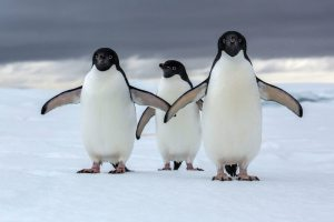 When Penguins and other wild animal travel they fly on Turkish Airlines