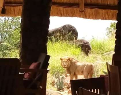 Lion found resting in Uganda restaurant