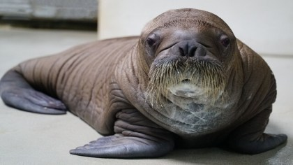 Big baby: SeaWorld Orlando welcomes a 150-pound whiskered baby walrus