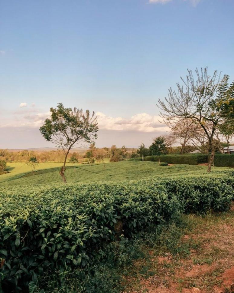 Malawi - View of the Satemwa Tea Estate fields