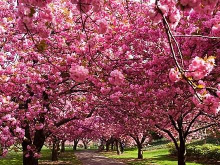 цветение сакуры в Ужгороде