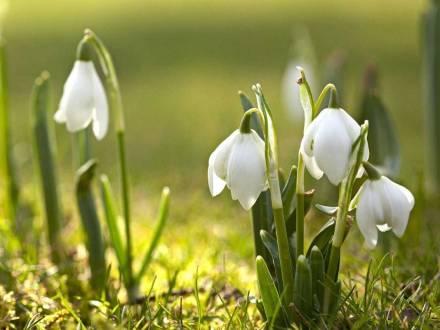 Отдых в Закарпатье весной / подснежники