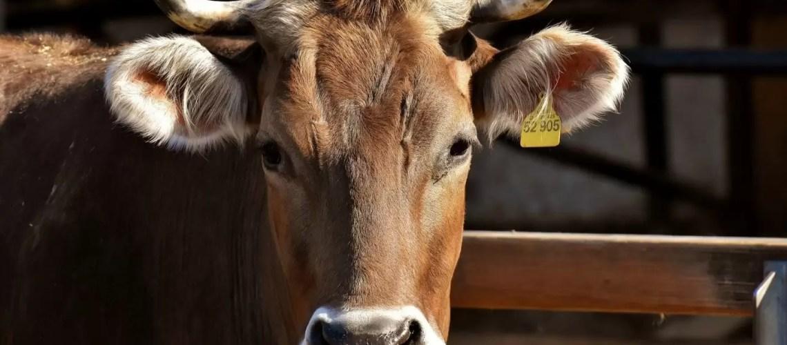 В Югре продолжается работа по профилактике вируса лейкоза крупного рогатого скота