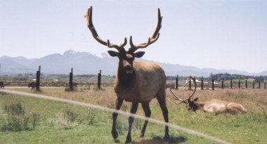 Elks were fenced too. This one looked at us, but he was also not interested on bread.