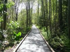 Wooden bridge on a swampy area