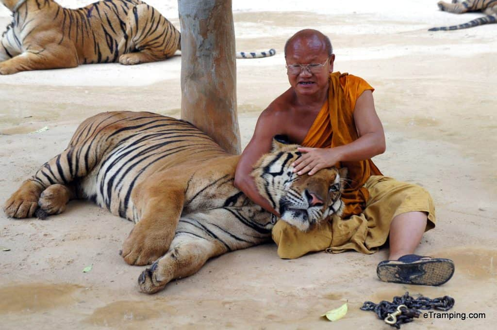 Tiger Temple, photo with a tiger, Buddhist monk