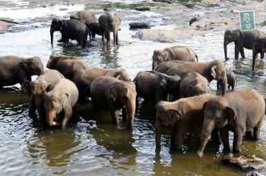 Elephants bathing