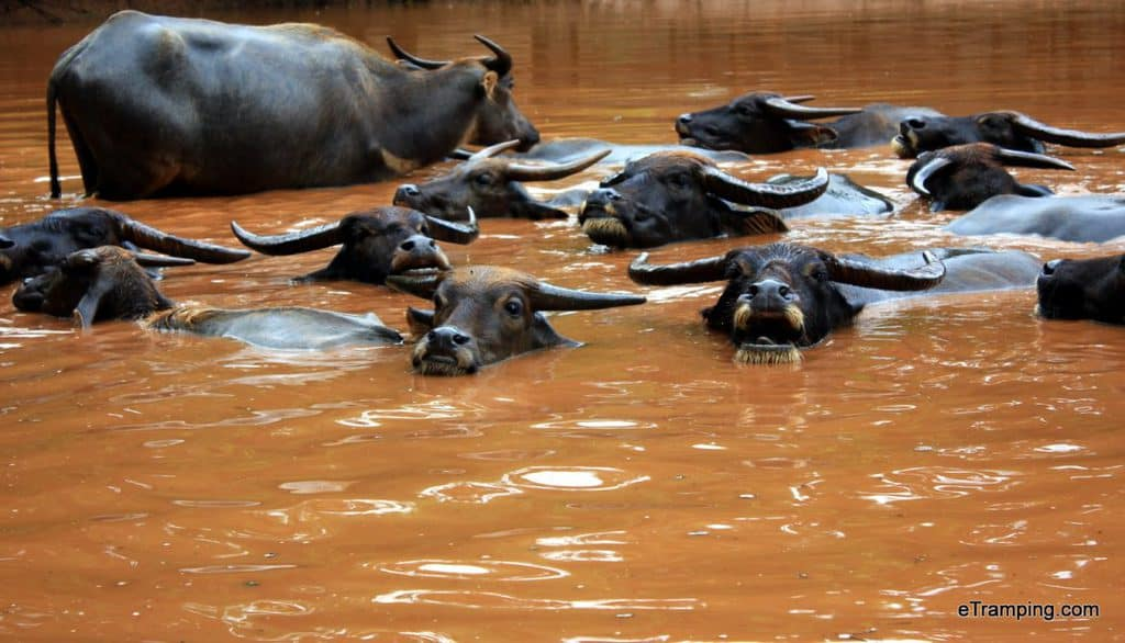 Buffaloes swimming in the river