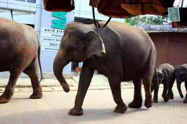 Elephants strolling down the streets in Pinawalla