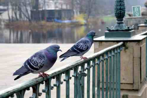 2 pigeons spoted in Łazienki Park