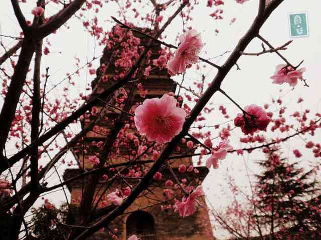 Spring in China, blossom flowers and the temple