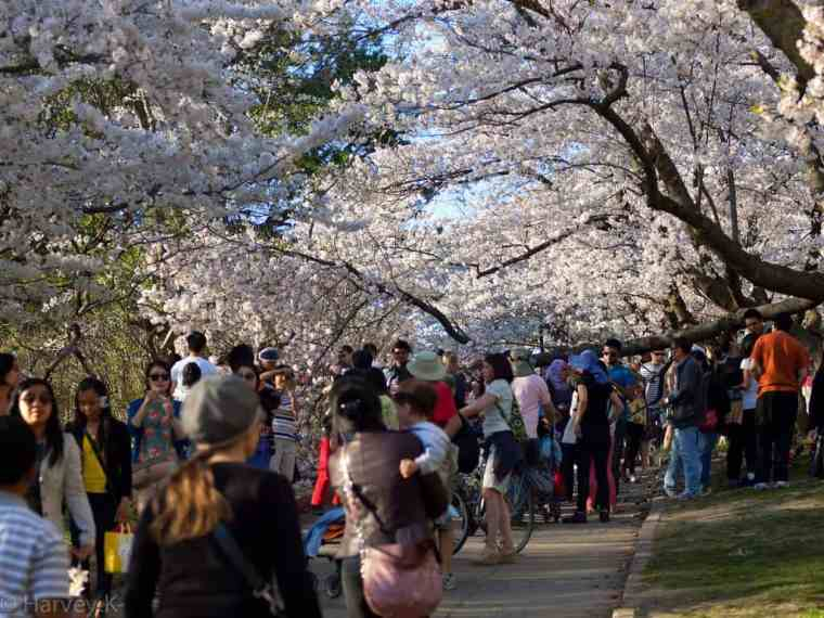 Japanese Cherry Trees admired in High Park Toronto
