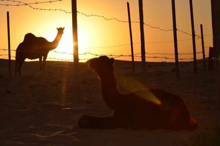 sunset camel abu dhabi