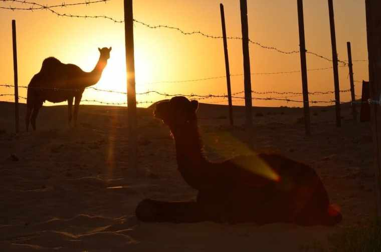 sunset camel abu dhabi