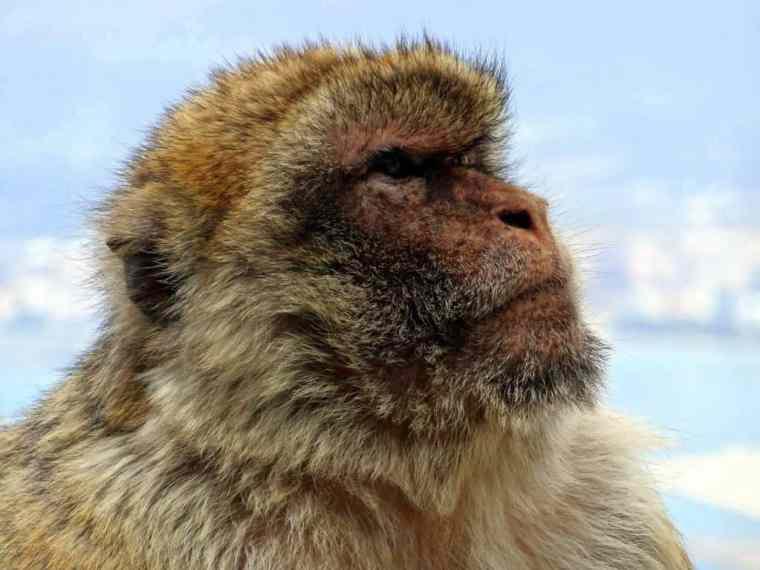 monkey-gibraltar