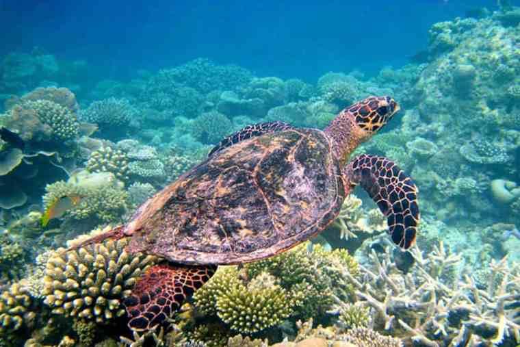 Snorkeling Turtle, the Maldives