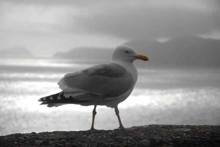 Ireland gull