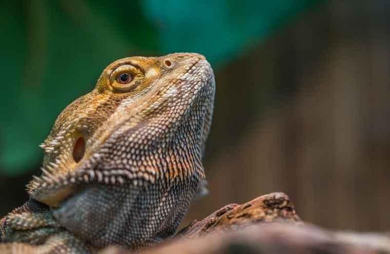Reptile in Langkawi