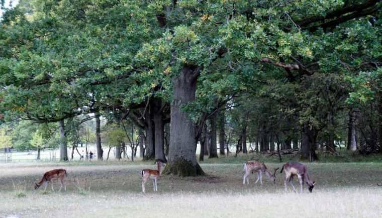 Deers in Dublin
