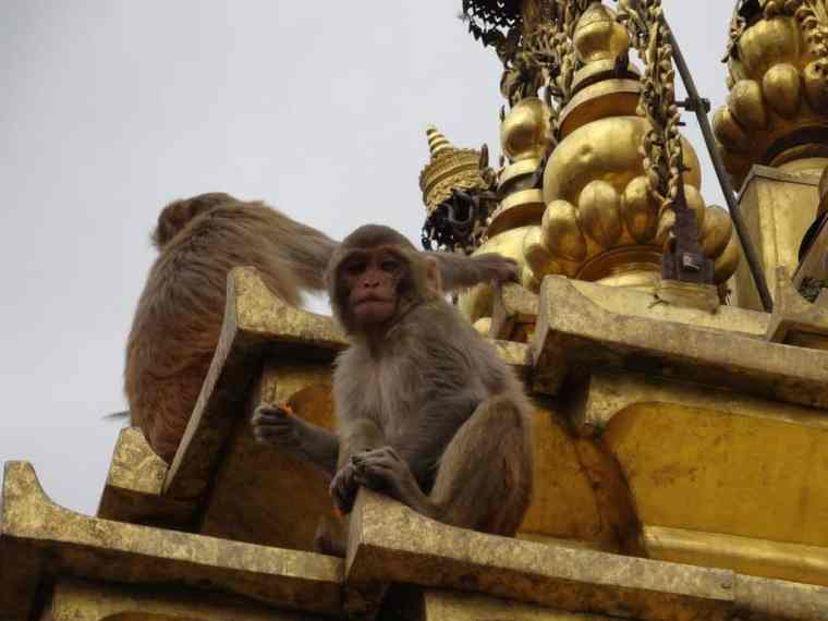Monkeys you can spot in Kathmandu