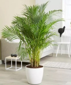 Picture of areca palm plant. If you buy this plant online, the plant will be similar to this picture of areca palm