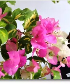 Bougainvillea Variegated (Pink and White Flower) | بوگن ویلیا ( ویری گیٹڈ )