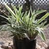 Daniella Grass variegated   ڈایانیلا گھاس ( ویری گیٹیڈ )