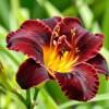 Day Lily (Mix Colors) | ڈے للی ( مکس رنگ )