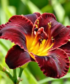 Day Lily (Mix Colors) | ڈے للی ( مکس رنگ )