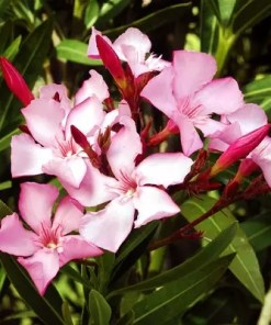 Kaner | Nerium Oleander (Pink | Single) | کنیر