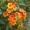 Tecoma (Shrub   Orange)   ٹیکوما جھاڑی ( مالٹائی )