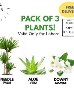 Bundle offer for three plants, Needle Palm, Jasmine and Aloe vera